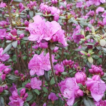 "Рододендрон даурский ""Эприл Роуз"" / Rhododendron dahuricum ""April Rose"""